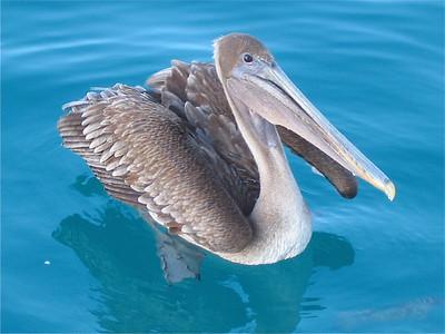 Geen gebrek aan pelikanen. Galapagos Eilanden.