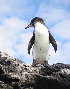 Galapagos Pinguin. Sombrero Chino, Galapagos Eilanden.