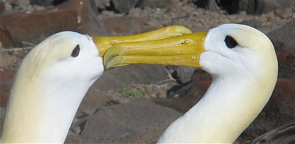 Paringsritueel van de albatrossen. Española, Galapagos Eilanden.