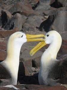 Paringsritueel. Española, Galapagos Eilanden.