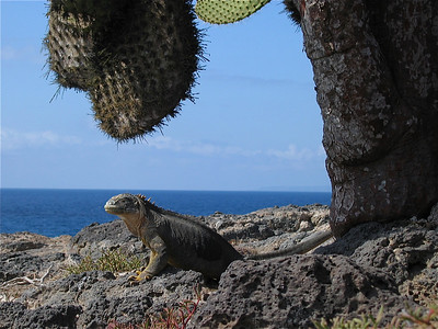 Landleguaan houdt de wacht. Plazas, Galapagos Eilanden.