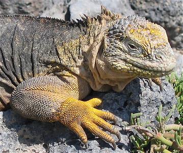 Verrimpeld huidje. Plazas, Galapagos Eilanden.