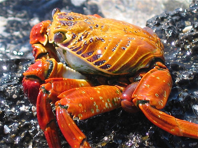 Sally Lightfoot Crab. Bachas Beach, Galapagos Eilanden.