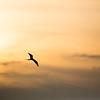 Magnificant Frigate Bird
