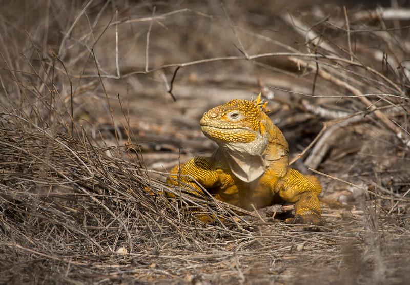 Land Iguana (Conolophus subcristatus)