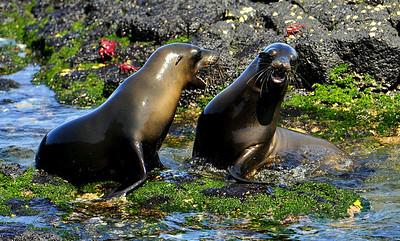 Galapagos Adolescent Sea Lions