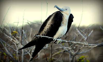 Female Frigate Bird