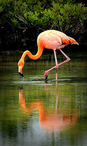 Flamingo (Not indigenous, just visiting)