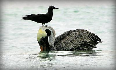 Pelican with stowaway