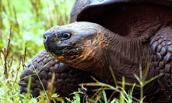 Giant Land Tortoise