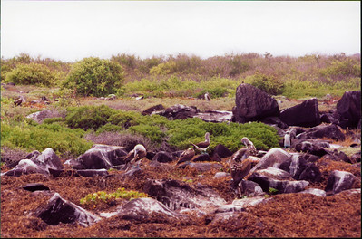 Galapagos  1 June 2000: Hood - Punta Suarez - 04