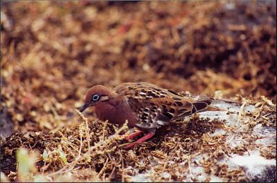 Galapagos  1 June 2000: Hood - Punta Suarez - 07