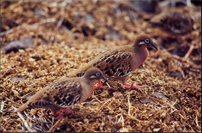 Galapagos  1 June 2000: Hood - Punta Suarez - 08