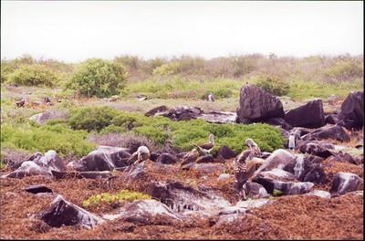 Galapagos  1 June 2000: Hood - Punta Suarez - 06