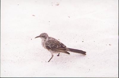 Galapagos  1 June 2000: Hood - Punta Suarez - 01