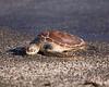 Photo taken 06-27-2008.  A Galapagos sea turtle.