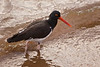 Photo taken 06-26-2008.  A Galapagos Oyster Catcher.