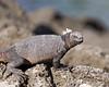 Photo taken 06-27-2008.  A marine iguana.