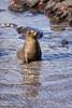 Photo taken 06-27-2008.  A Galapagos sea lion.