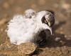 Photo taken 06-28-2008.  A Galapagos baby bird.