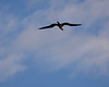 Photo taken 06-27-2008.  A Galapagos Frigate bird...  Note the position of the head!!