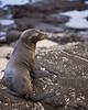 Photo taken 06-28-2008.  A Galapagos fur seal.