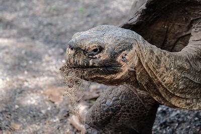 The Cerro Azul tortoise.