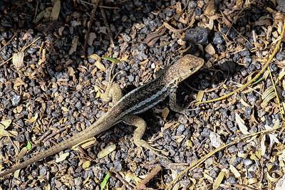 Male Lava lizard - Microlophus m. albemarlensis.