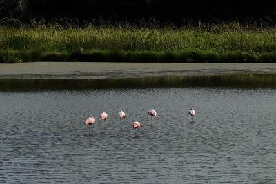American Flamingo - Phoenicopterus ruber.