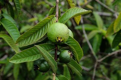 Guava tree - Psidium guajava.
