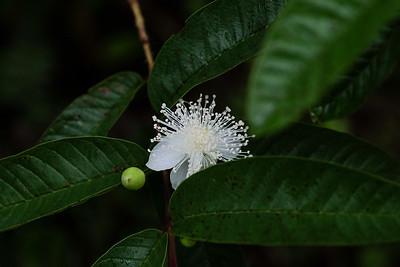Flowering Guava - Psidium guajava.