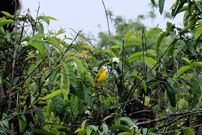Male Galapagos Yellow Warbler -  Dendroica petechia.