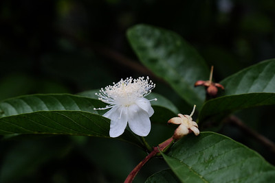 Flowering Guava - Psidium guajava.