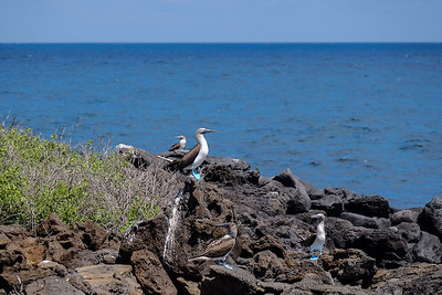 Galapagos Blue-footed Booby - Sula nebouxii.