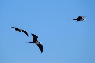 Female Magnificent frigatebird - Fregata magnificens.