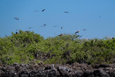 Frigatebirds.