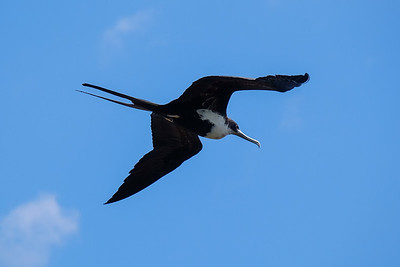 Great Frigatebird (Sula nebouxii), female.