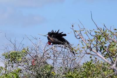Frigatebird.