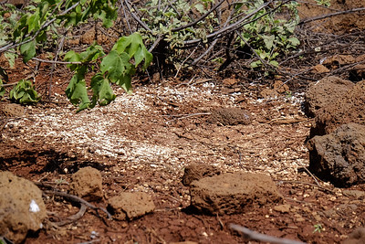 Galapagos Blue-footed Booby nest.