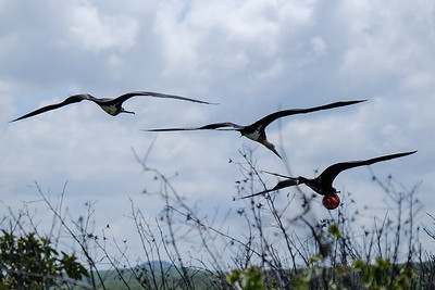 Great Frigatebird (Sula nebouxii), male and female.