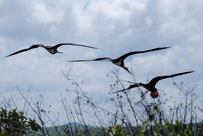 Great Frigatebird (Sula nebouxii), male and female.