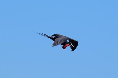 Great Frigatebird (Sula nebouxii), male.