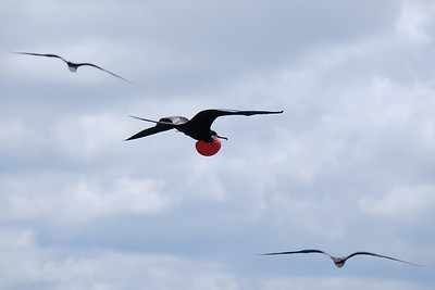 Great Frigatebird (Sula nebouxii), male.