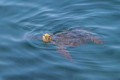 Galápagos green turtle (Chelonia agassizii).
