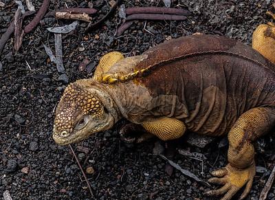 A bit leary. Land Iguana - Conolophus subcristatus.