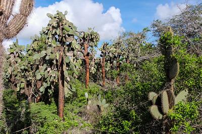 Opuntia Cactus (Opuntia Echios Gigantean).