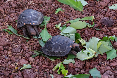 Snack time for the baby tortoises.