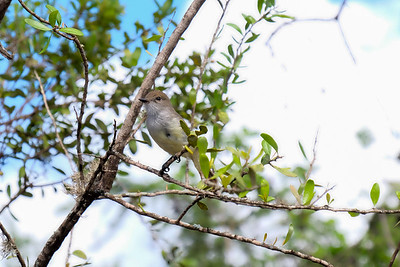 Galapagos Flycatcher - Myriarchus magnirostris.