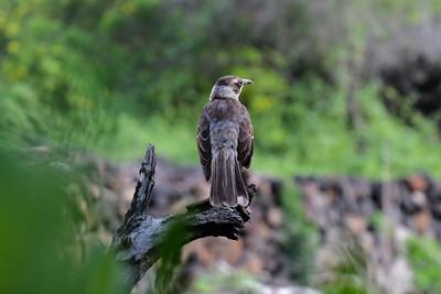 The Galapagos Mockingbird - Mimus parvulus.