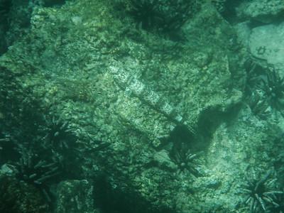 Calico Lizardfish (Synodus lacertinus).